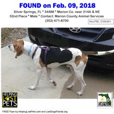 Is this your lost dog or do you recognize him?  Do you know this Dog? #SilverSprings (314A & NE 52nd Place)  #FL 34488 #Marion Co.  #Dog 02-09-2018! Male #Hound / #Beagle Mix White / Black / Tan/possibly a hunting hound no chip no id no tattoo  Ask for ID #A210460 at Marion County Animal Services  CONTACT Marion County Animal Services (352) 671-8700  More Info Photos and to Contact: http://ift.tt/2o2nhnP  To see this pets location on the HelpingLostPets Map: http://ift.tt/2oaiT5h  Let's get…