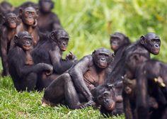 Lovely bonobos