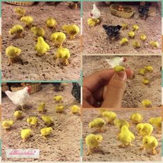 OOAK-Handmade-Miniature-Chicks-Chicken-1-12th-Scale-Dollhouse-by-DLennmark