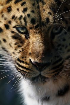 **Baby Jaguar