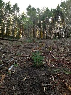 In its first effort to recreate a champion tree old growth forest, Archangel Ancient Tree Archive successfully planted a four-acre grove of 2,000 to 3,000-year-old coast redwood and giant sequoia clones near Port Orford, Oregon.