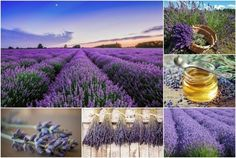 The Total Guide To Growing, Harvesting & Using Lavender