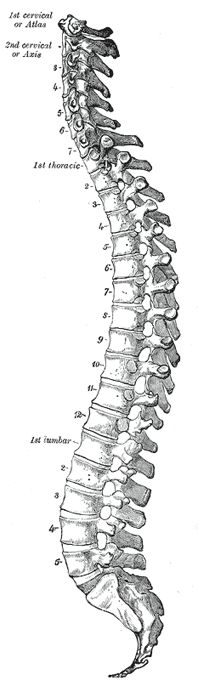 The Vertebral Column as a Whole - Human Anatomy
