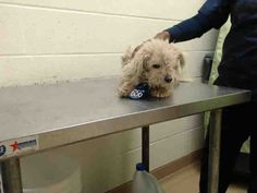 01/29/15-HOUSTON - HURRY - TIME IS RUNNING OUT OF HER!! This DOG - ID#A423561  I am a female, white Poodle - Miniature.  The shelter staff think I am about 8 months old.  I have been at the shelter since Jan 27, 2015.