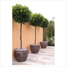 flower power bay laurel balkon pflanzen und g rten. Black Bedroom Furniture Sets. Home Design Ideas