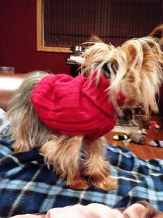 Tiny Timmy is a 21 month, 2.6 lb Yorkie who came to Angel of Hope when his owner passed away. He has been making himself comfortable at his new foster home - climbing up & down stairs, hopping in and out of laps, snuggling in for a few minutes, and then popping up to explore. He is adorable, sweet, playful, and Spunky. There's still time to help us save more dogs like Timmy. Give at: https://givemn.org/organization/Angel-Of-Hope-3