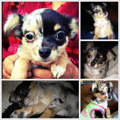 Maya Azul #bluemerlechihuahua The bigger picture is the first picture I took when I meet her and feel in love with her and her super cute pattern. My mom and me weren't fans of the merle pattern until we met Maya. The rest are a few pics I took the first days I had her. #chihuahuas #merlechihuahua