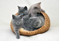 Basket of British shorthair kittens