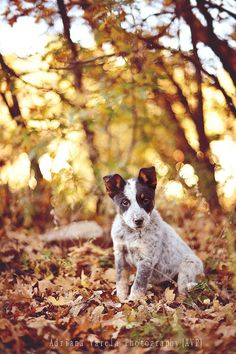 Oh no way. This cattle dog puppy is to die for. What a sweetie and I love the fall setting. I wish we had woods like this where I live! I'd be there everyday taking photos.