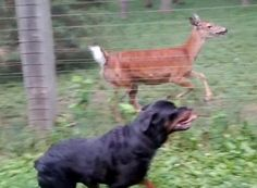 A two-year-old Rottweiler and deer enjoy running together n the park.  Related: Lil buddy with his deer friends Orphaned deer and stray dog became unlikely best friends at cemetery Dog chasing deer chased by his owner Kate and Pippin: a dog and deer friendship