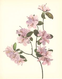 Vintage Flower Print, Early Rhododendron, Botanical Plant (91) Natural History, Blossom Art, 1970, Kaplicka