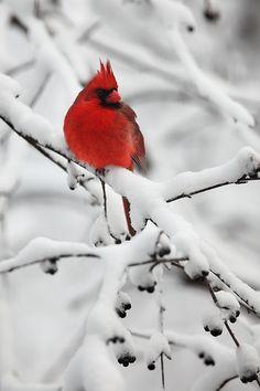 """Snowy Perch""    Northern Cardinal (Cardinalis cardinalis) - Wisconsin  http://www.natezeman.com/photo/snowy-perch-2/#"