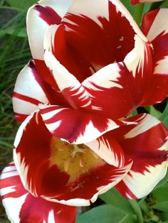 Crimson and white tulips ~ check out ~ RollTideWarEagle.com ~ great sports stories, audio podcast and FREE on line tutorial of college football rules. #CollegeFootball #RollTide #Alabama