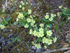 Primula veris http://lefotodiluisella.blogspot.it/