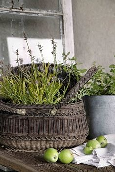 Maybe this will take in here and we'll have lovely lavender like they do in France. Go 'borrow' granny's old pot...