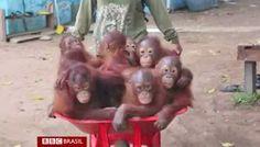 """""""O Grito do Bicho"""": Bebês orangotangos vão à escola para aprender a vi..."""