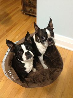 Chocolate Kisses -Snuggle Sack  by rendachs, $60.00. Adorable Boston Terriers enjoying the snuggle sack.