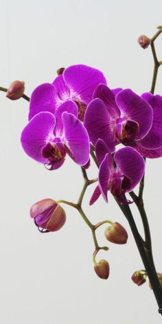 Beautiful purple orchids to match the east Asian theme of the wedding.  Growing potted orchids.AS SOON AS I GET MY NEW CAMERA, I WILL SHARE SOME OF MINE