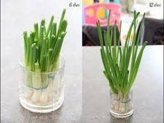 Como cultivar cebolinha em casa no copo sem Jardim