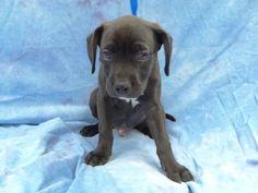 Poseidon Rescue Puppies, Labrador Retriever, Dogs, Animals, Labrador Retrievers, Animales, Animaux, Pet Dogs, Doggies