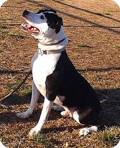 Westampton, NJ - American Staffordshire Terrier Mix. Meet Axel D-62585, a dog…