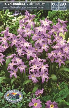 Chionodoxa luciliae 'Violet Beauty' - Glory of the Snow Bulbs for sale Flowers Perennials, Planting Flowers, Glory Of The Snow, Dutch Gardens, Early Spring Flowers, Butterfly Weed, Butterflies, Rose Queen, Bulbs For Sale