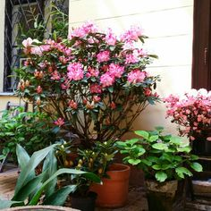 Rhoddodendron toopsvort pearl in a dark patio