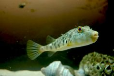 Northern Puffer- i just found out it is called a sugar toad, no wonder it croaked! Barnegat Bay, Toad, Flora, Sugar, Fish, Pets, Heart, Animals, Animales