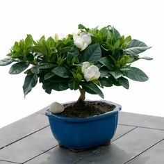 Gardênia:  Trata-se de uma planta muito bonita e resistentes. Entretanto, uma de suas características mais marcantes é o perfume, por isso não é indicado colocar o vaso em lugares fechados se você não quer que o cheiro fique ainda mais forte.