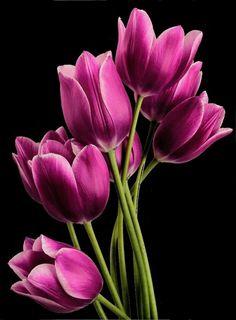 Justin Vo love flowers - My site Purple Tulips, Tulips Flowers, All Flowers, Exotic Flowers, Amazing Flowers, Spring Flowers, Beautiful Flowers, Natural Flowers Photos, Tulips Garden