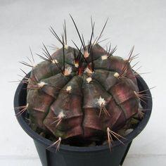 Gymnocalycium anisitsii ssp. volkeri     VoS 39 San Jose de Chiquitos, south, Santa Cruz, Bolivia, 374 m (Piltz seed 5659) ( 翠晃冠(亜種)ボルケリ    VoS 39  (ピルツ種子実生) )
