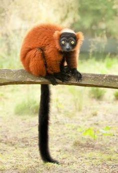 news/Red_ruffed_lemur