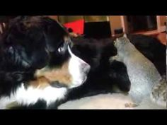 Squirrel hides nuts in a Bernese Mountain dog's fur (as seen on Ridiculo...