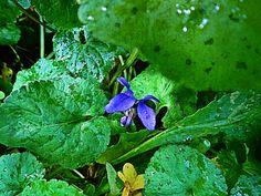 Μενεξές (Viola odorata) ..τό άρωμα της βροχής