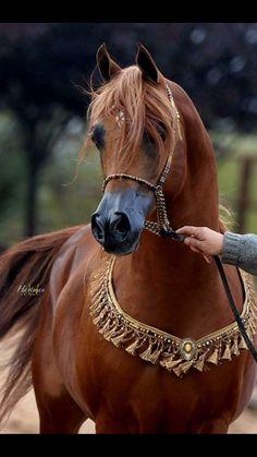 Amazing Arabian