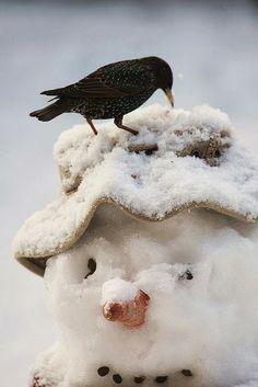 Star auf Schneemann - Starling on a Snowman I Love Snow, I Love Winter, Winter Fun, Winter Christmas, Christmas Snowman, Merry Christmas, Country Christmas, Winter White, Christmas Lights
