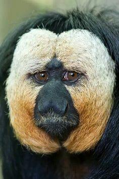 Monkey sex brasilien
