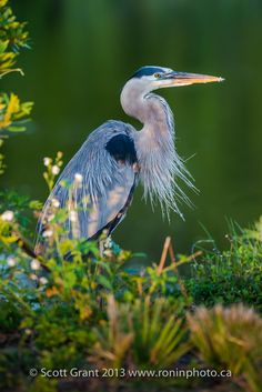 Great Blue Heron in Dappled Light - A great blue heron allows a close approach.