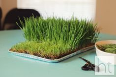 How to Grow Wheatgrass - Homemade Toast