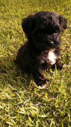 Maltipoos puppies for sale