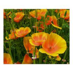 Orange Kalifornien-Mohnblumen/Kalifornischer Mohn