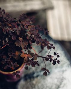 Muted autumn tones these 'Plum Crazy' Wood Sorrel plants were on lots of the cafe tables in Southern Sweden. If you can bear to dismantle a frond and pick off a leaf you can eat them! This was at the beautiful @cafeagnez in Malmö - now my quest is to find one for our table here