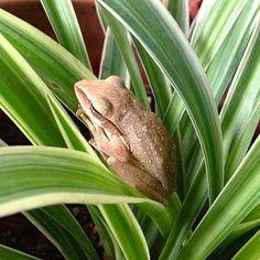Garden frog by 1CheekyChimp, via Flickr