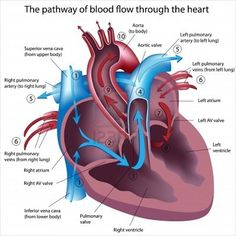 Bloodflow of the Heart