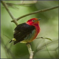 Band-tailed Manakin | Flickr - Photo Sharing!