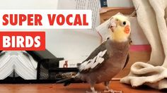 An owl is cute and funny. Check out these funny owls and cute owls in this funny and cute owl videos compilation. Daily Beetle by Kevin Mac. Funny Owls, Funny Birds, Funny Animals, Cute Puppies, Cute Dogs, Galah Cockatoo, Talking Parrots, World Cutest Dog, Bird Gif