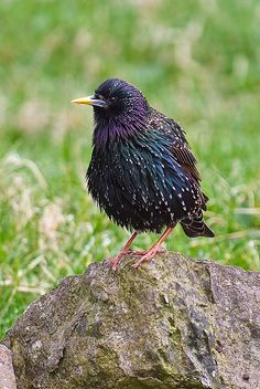 European Starling also known as simply the Common Starling