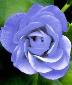 New Jetzt f r Euro H ngende Geranie PAC Blue Sybil von BALDUR Garten auf Blumen de kaufen Mit diesen drei Geranien Pflanzen in einem lieblichen Bla