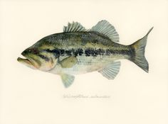"Micropterus salmoides / Largemouth Bass / ""Okuchibasu"" (ブラックバス(オオクチバス) Micropterus salmoides:…"