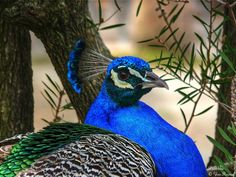 Paon bleu © Yves ROUSSEL